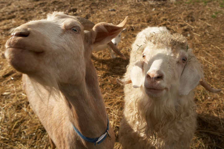 Foot and Mouth Disease: What You Need to Know