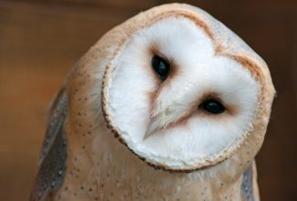 How to Attract Owls and Why You Should Give a Hoot