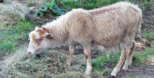 Yearling Ewe With Parasite Problems