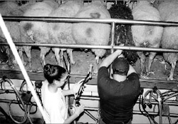 This milking setup at Shepherd's Way, Nerstrand, Minnesota, is pretty typical of sheep diaries. The milkers work in a pit below ground level while the sheep eat from a moveable stanchion. Notice the pipeline system. And yes, goat lovers: sheep are milked from behind!
