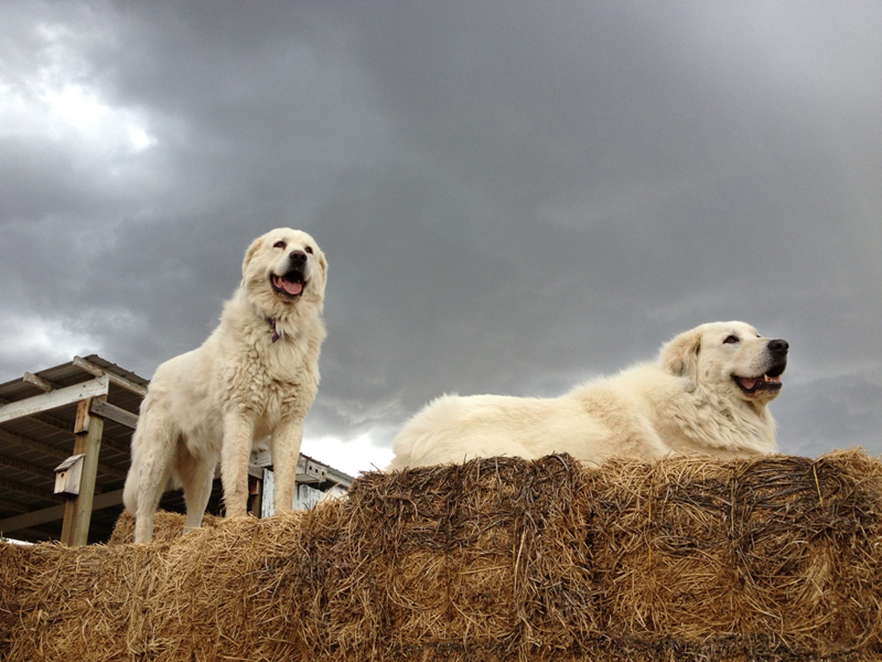 Livestock Guardian Dogs And Barking