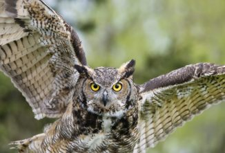 A Field Guide to Common Owl Species