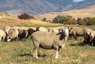 Cold Weather 101: Help Lambs Beat the Winter Chill