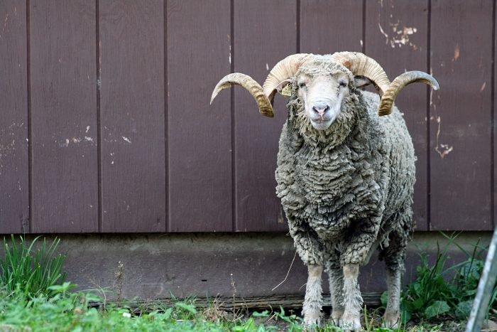 5 Critical Sheep Breeds for the Homestead
