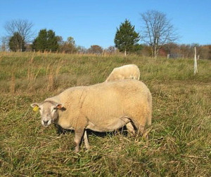 Texel crosses on Katahdins are hardy, have meaty bodies without much fat, give lots of twins and raise them well. (Photo by David Coplen)