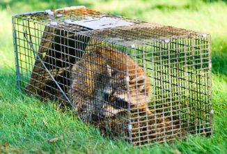 Humanely Trapping Raccoons, Foxes, Skunks and More