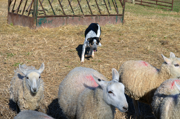Two Typical Herding Dog Challenges