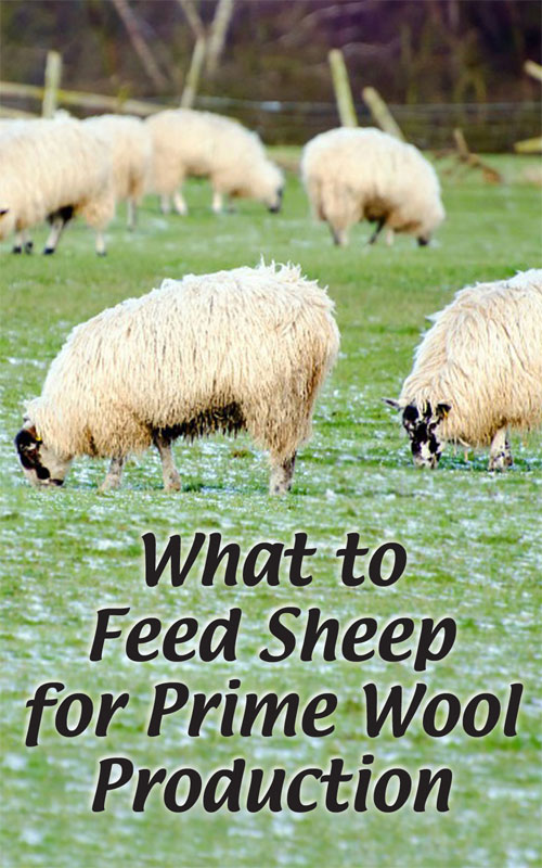 What to Feed Sheep