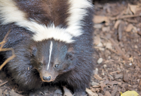 How to Get Rid of a Skunk Smell on a Dog