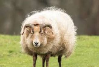 Facts About Lambing With Hair Sheep Breeds