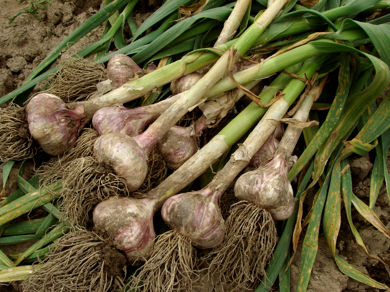 A Beginner's Guide to Growing Garlic