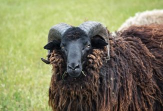Are Rams Dangerous? Not With Proper Management.