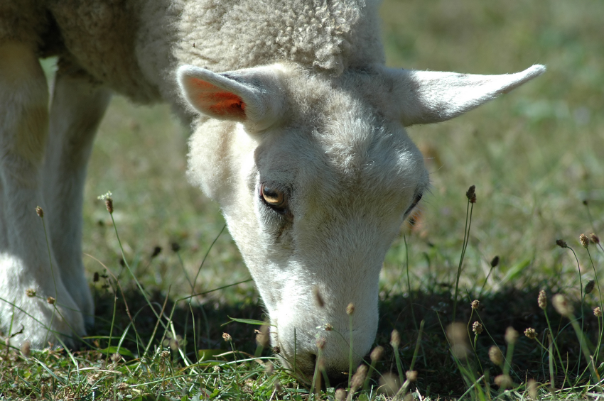 When Limping is Not a Sign of Sheep Foot Rot