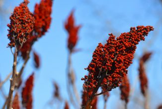 Staghorn Sumac: The Wild Lemonade Berry