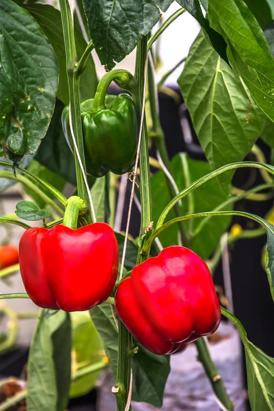 how-to-grow-peppers