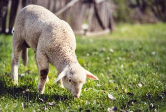 Raising Lamb for Meat and Selling it at the Farmers Market