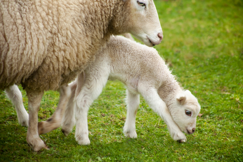 Avoid Lambing Problems with This First Aid Contents Checklist