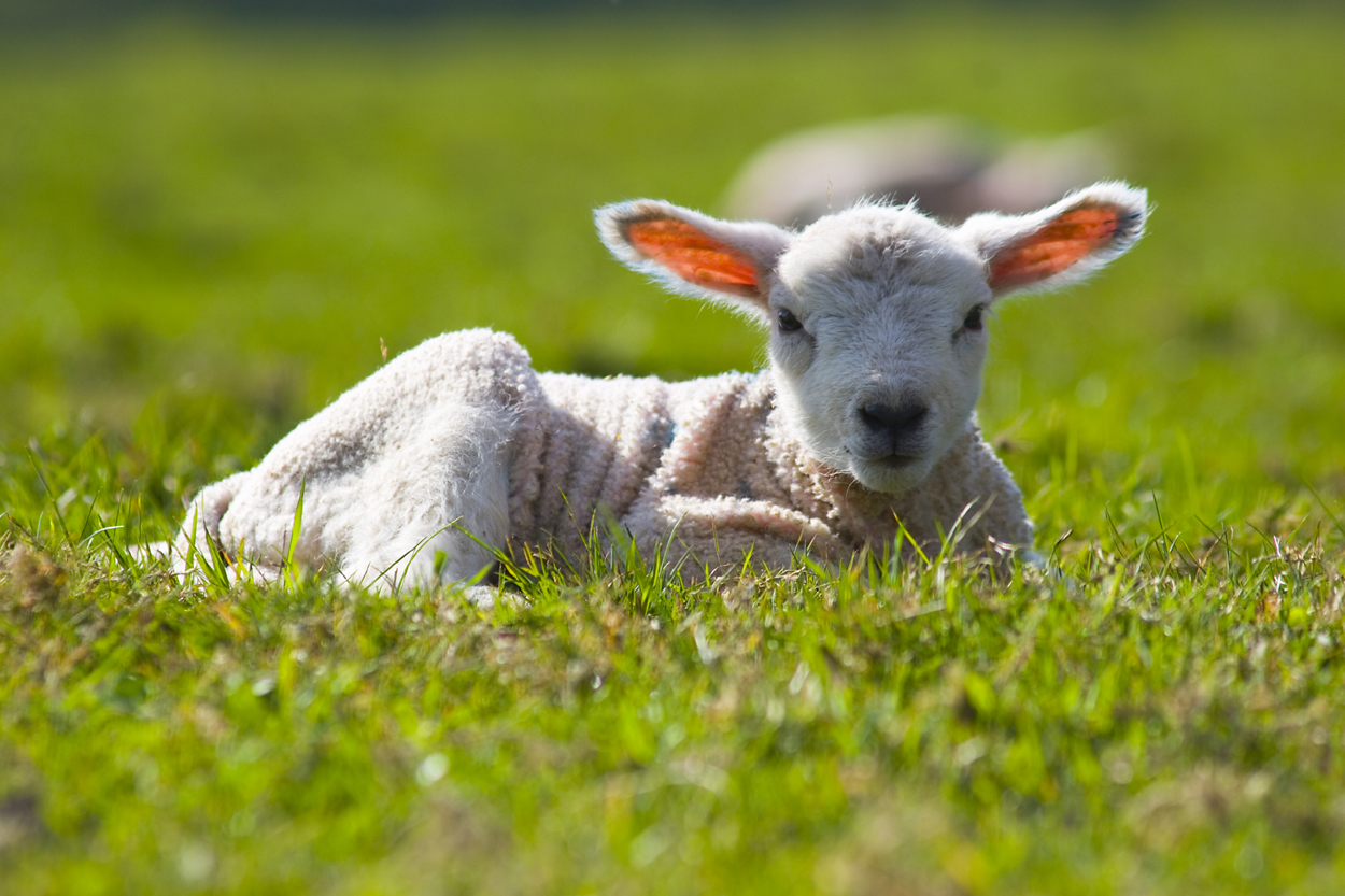 Lambing Problems Can Arise From Abnormal Birth Positions