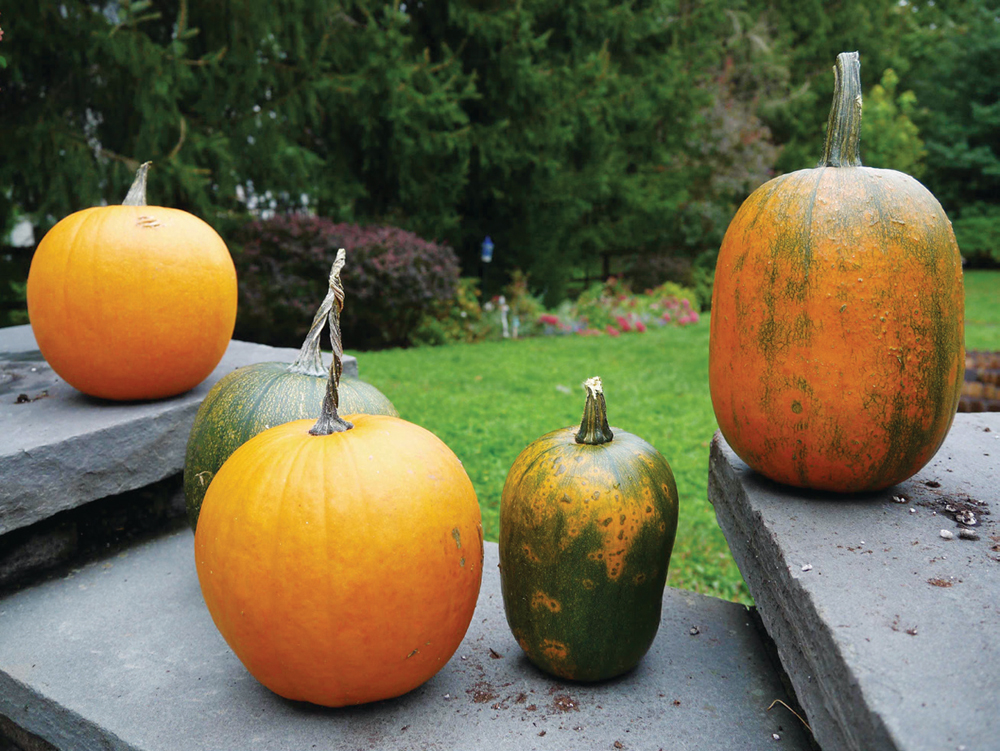 How to Grow Your Own Halloween Pumpkins