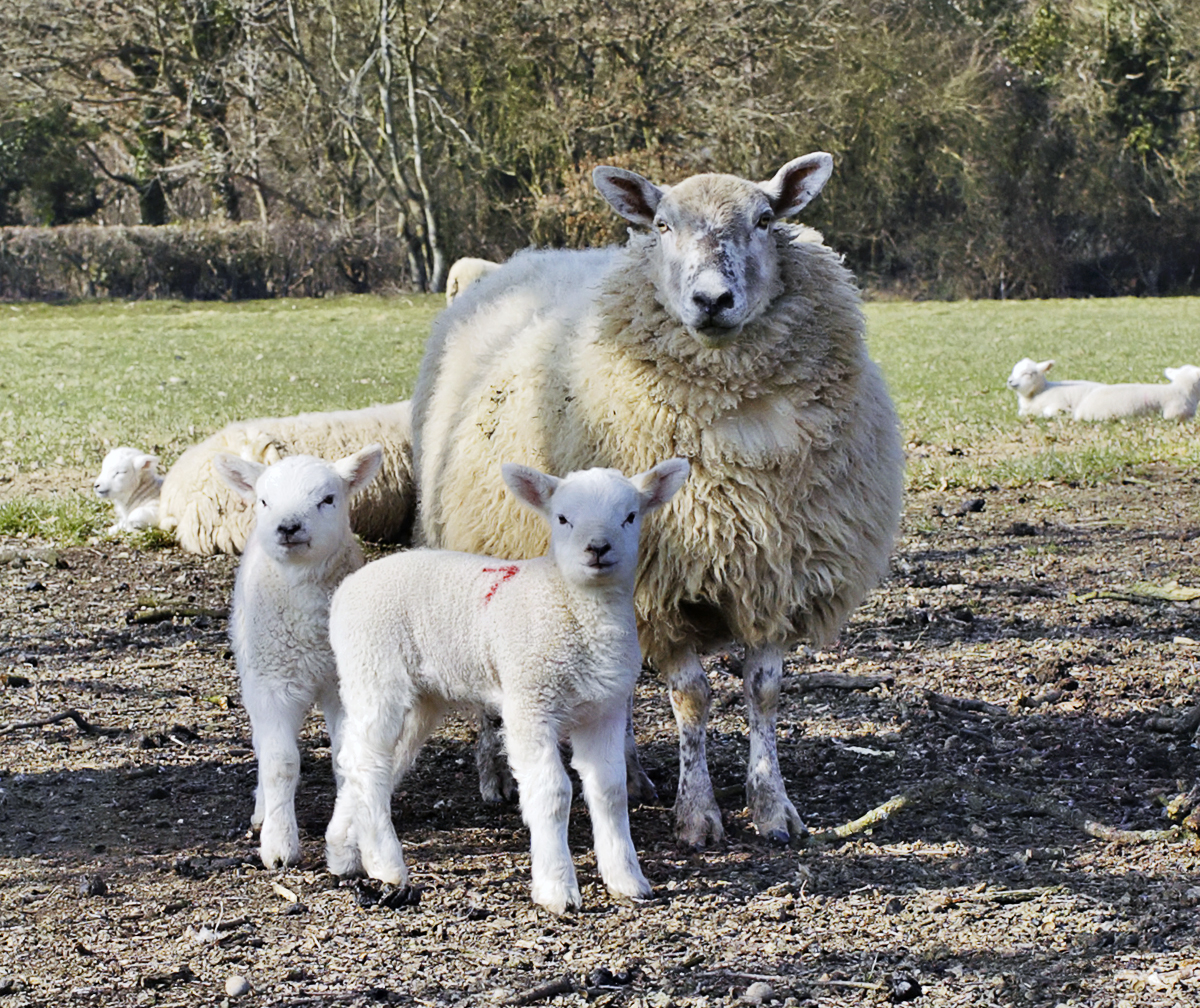 All About Romney Sheep