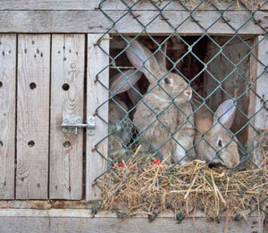 Rabbits in a wooden hatch.