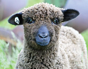 White and naturally colored Romney sheep make up the bulk of the Perlebergs' flock.