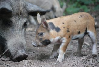 How Smart are Pigs? Sharp Minds Need Stimulation