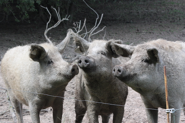 how-smart-are-pigs