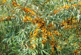 Sea Buckthorn: It Started With a Prayer