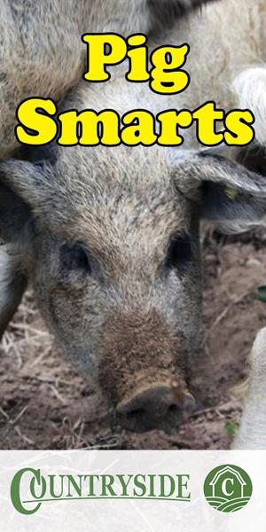 pigs-are-smart