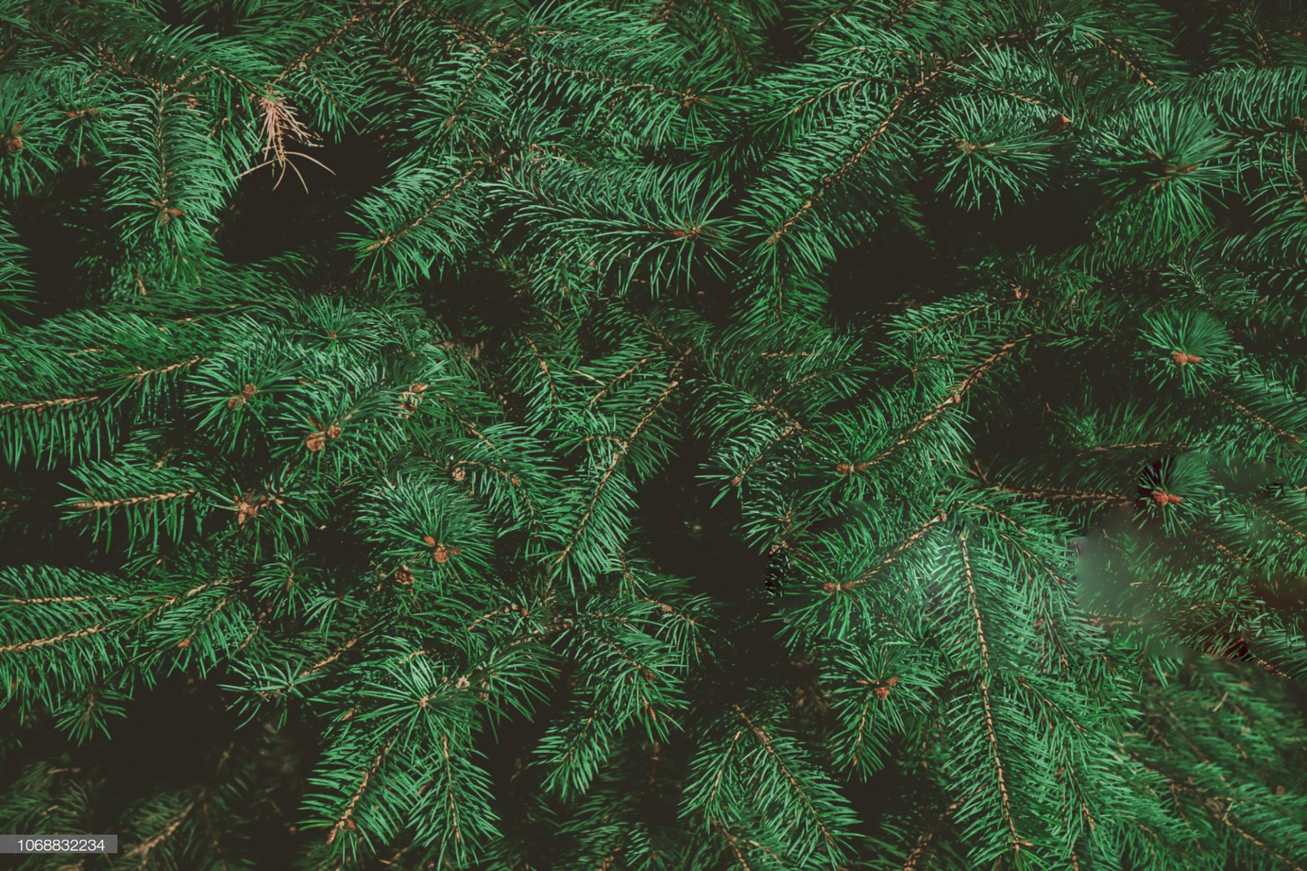 Evergreen Tree Care and Diseases