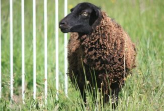 How Smart Are Sheep? Researchers Find Surprising Answers