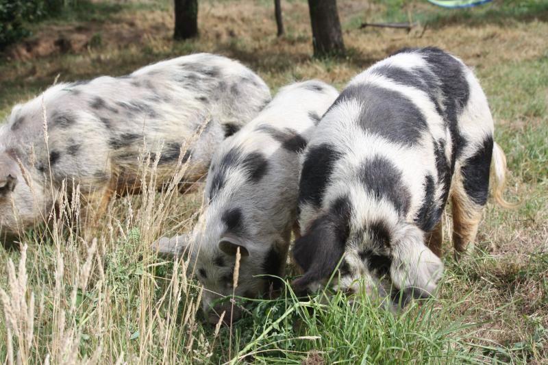 pigs-forage-for-varied-nutrition