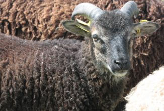 young-soay-ram