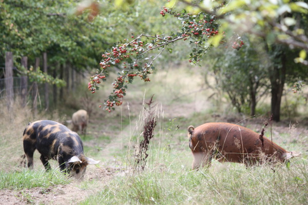 Permaculture Design for Pigs, the Farmer's Friend