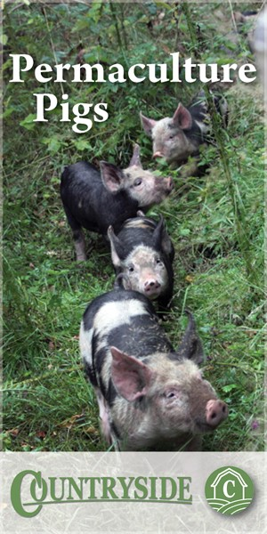 permaculture-pigs-woodland