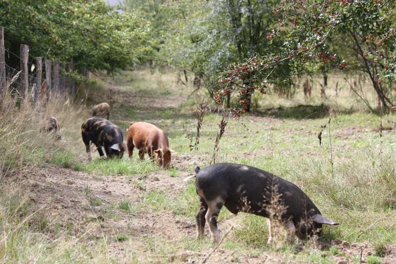 weaners-clearing-orchard