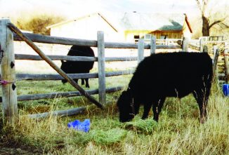 Fenceline Weaning: Low-Stress Weaning Method