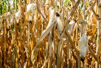drought-affected-corn