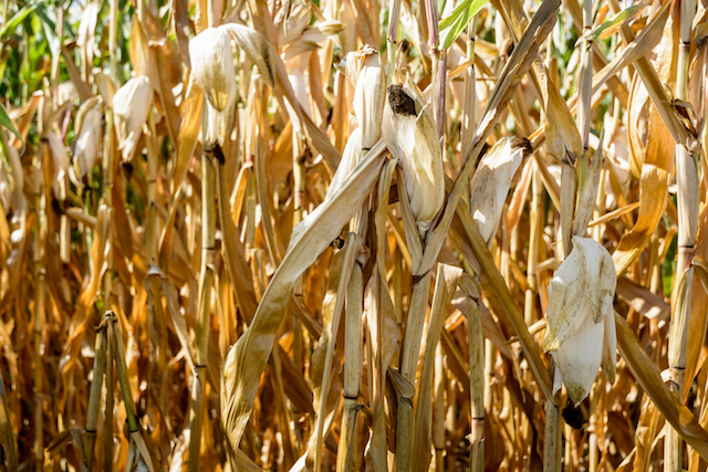 Salvage Your Drought-Affected Corn