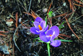 Planting Bulbs in Fall for Early Spring Flowers