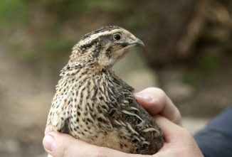 Lessons Learned by a Quail Newbie